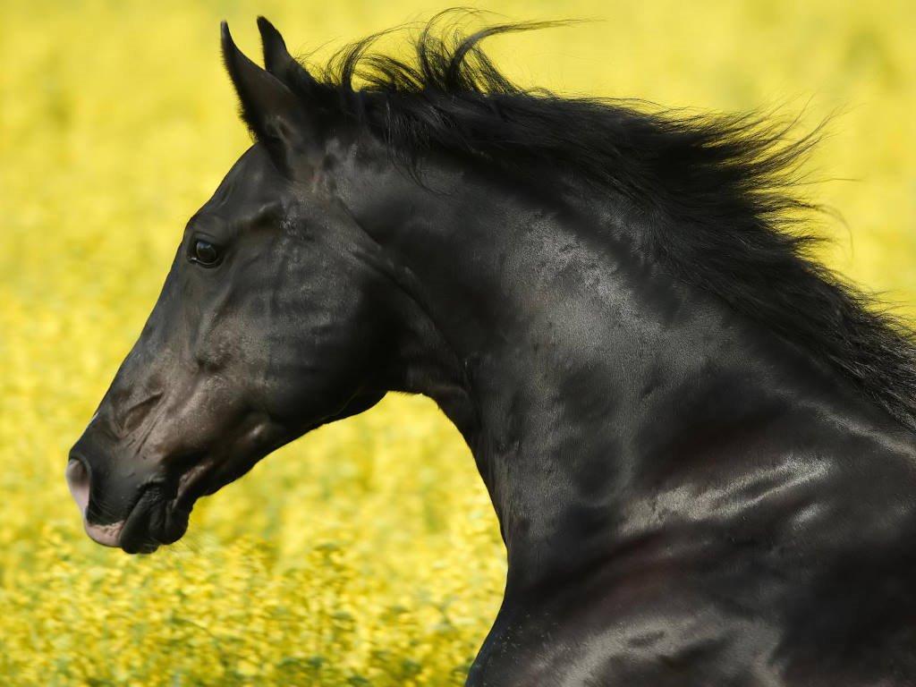 Nature Wallpaper: Black Horse