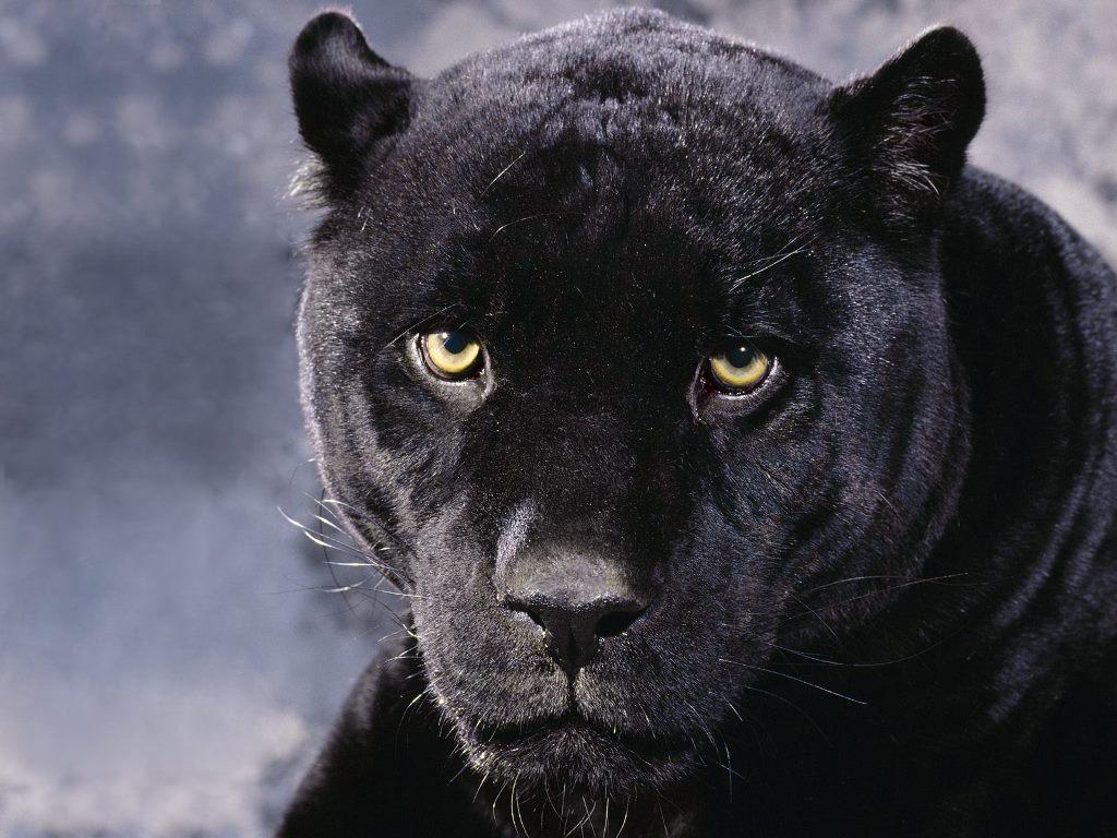 Nature Wallpaper: Black Panther