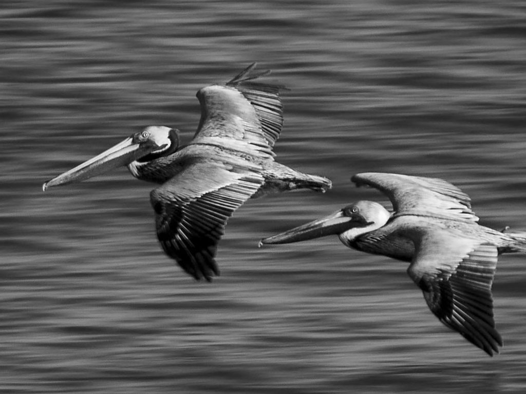 Nature Wallpaper: Black Pelicans