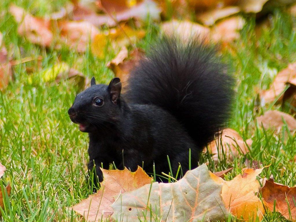 Nature Wallpaper: Black Squirrel
