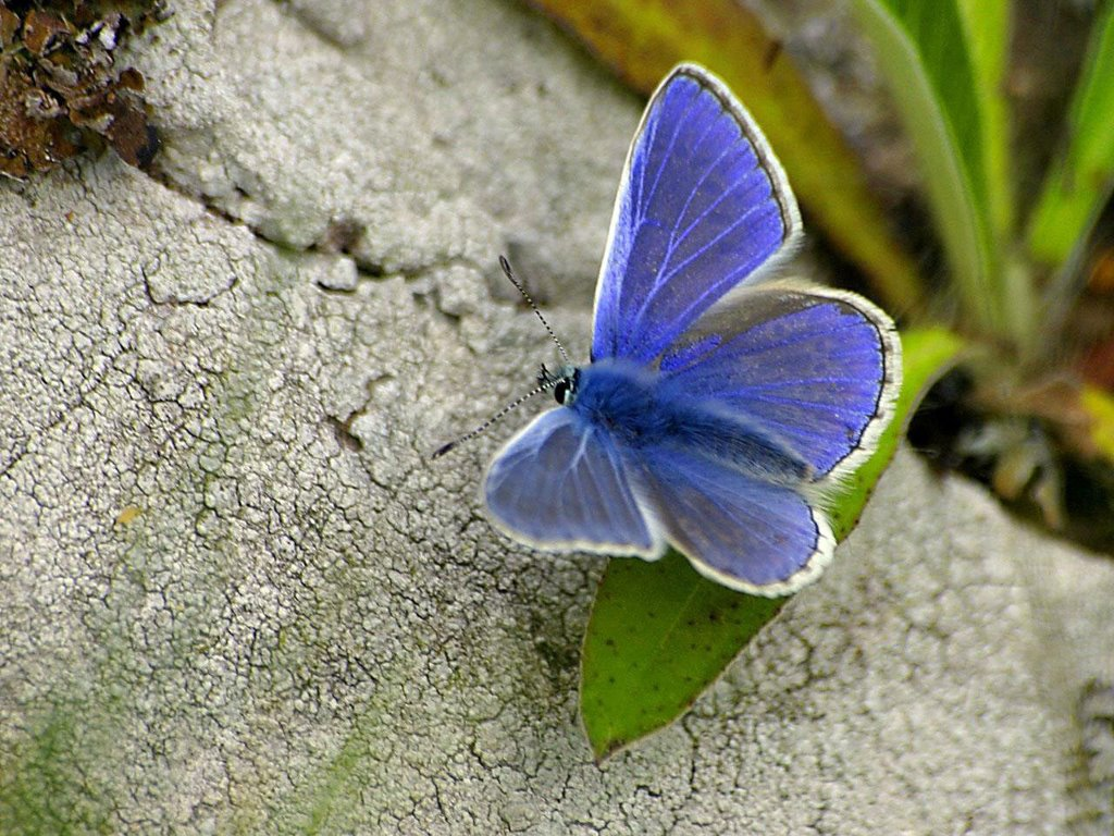 Nature Wallpaper: Blue Butterfly