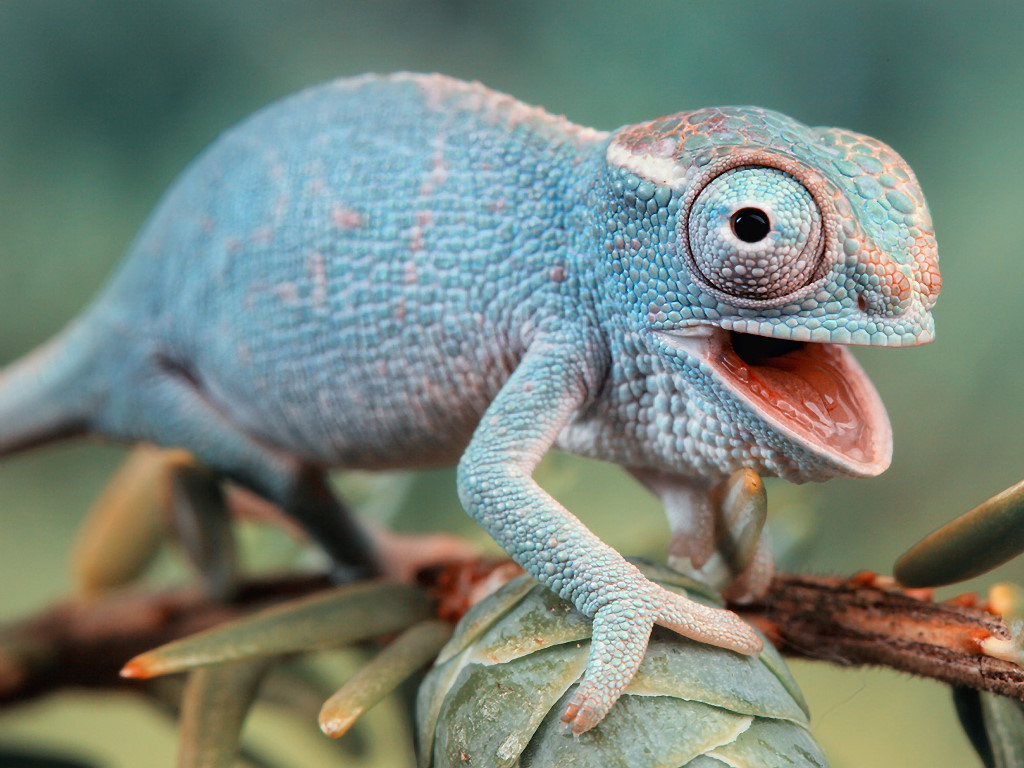 Nature Wallpaper: Blue Chameleon