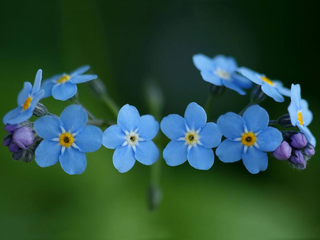 Nature Wallpaper: Blue Cinquefoil