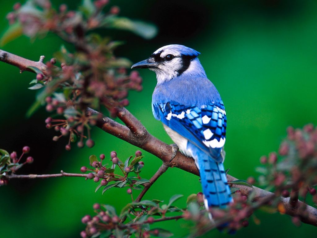 Nature Wallpaper: Blue Jay