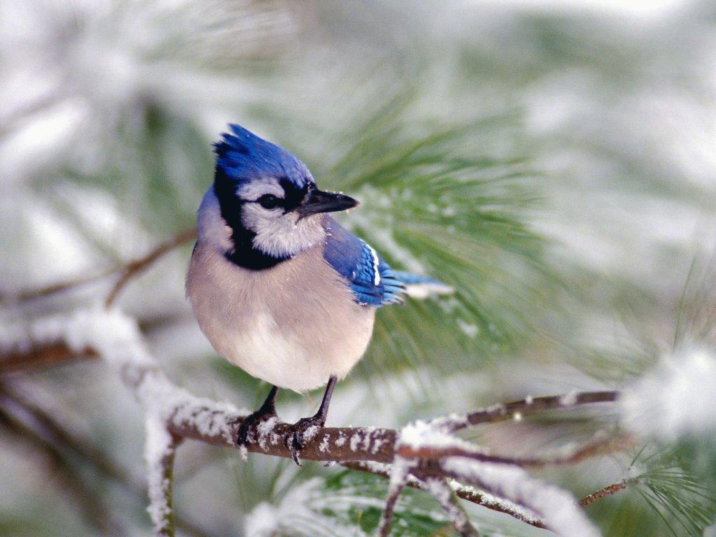 Nature Wallpaper: Blue Jay