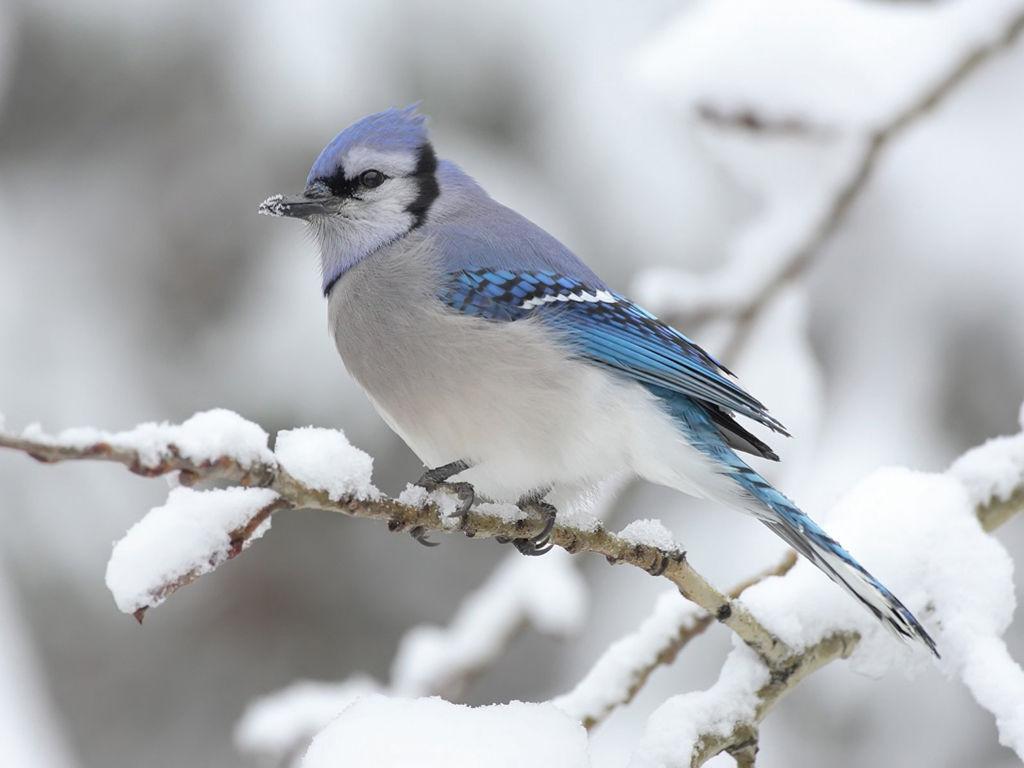 Nature Wallpaper: Bluejay - Winter