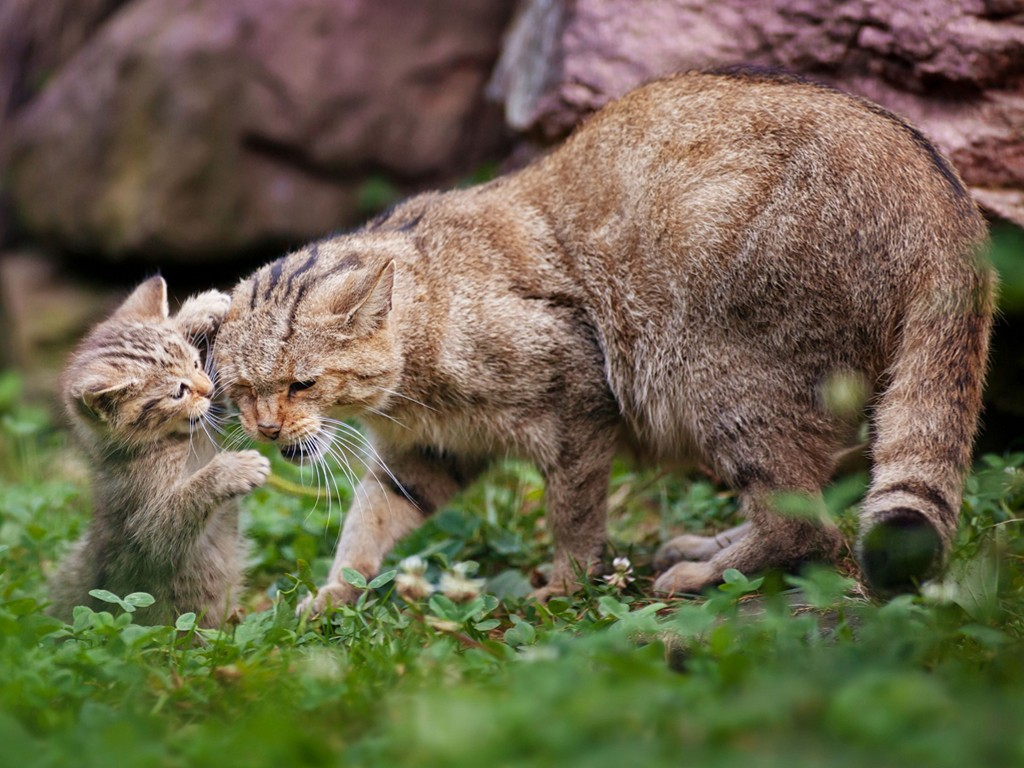 Nature Wallpaper: Bobcat and Cub