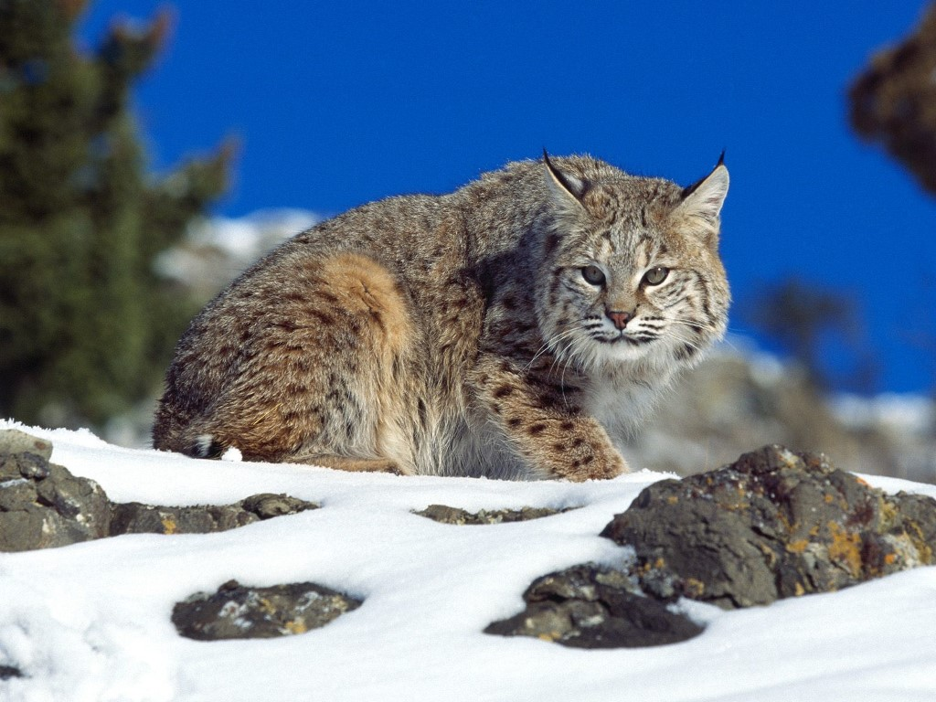 Nature Wallpaper: Bobcat