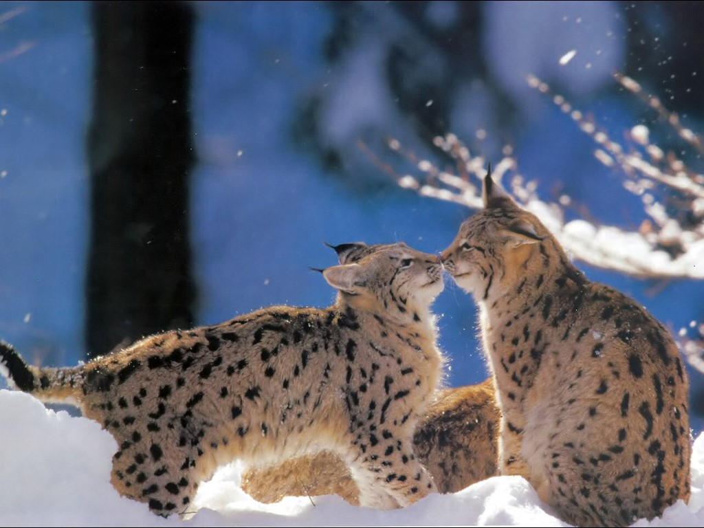 Nature Wallpaper: Bobcats