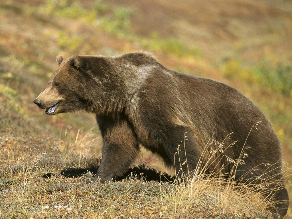 Nature Wallpaper: Brown Bear