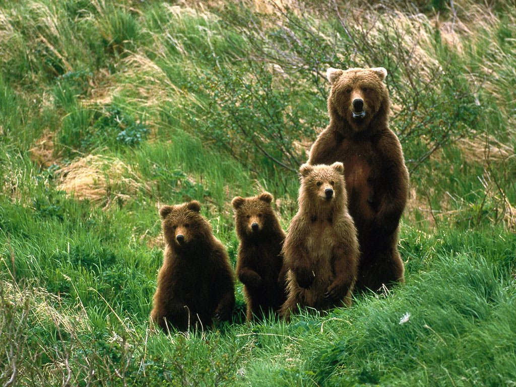 Nature Wallpaper: Brown Bears