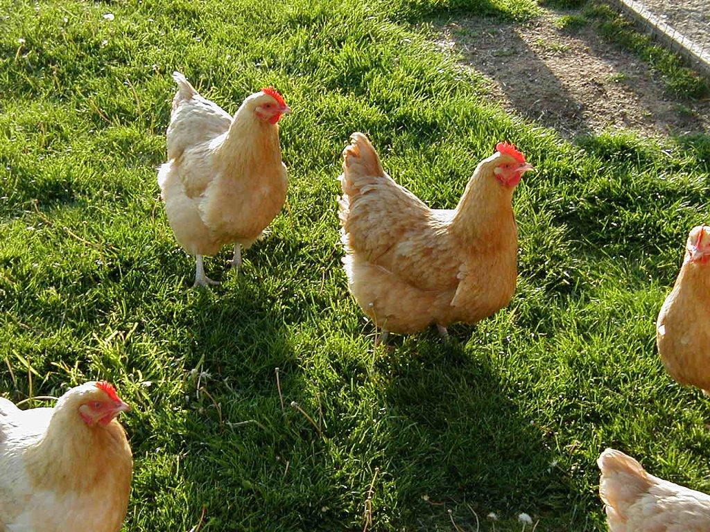 Nature Wallpaper: Chickens