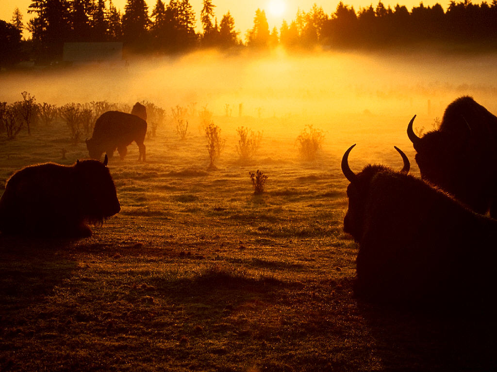 Nature Wallpaper: Buffalos