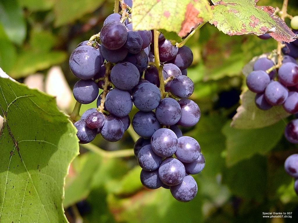 Nature Wallpaper: Bulgarian Grapes