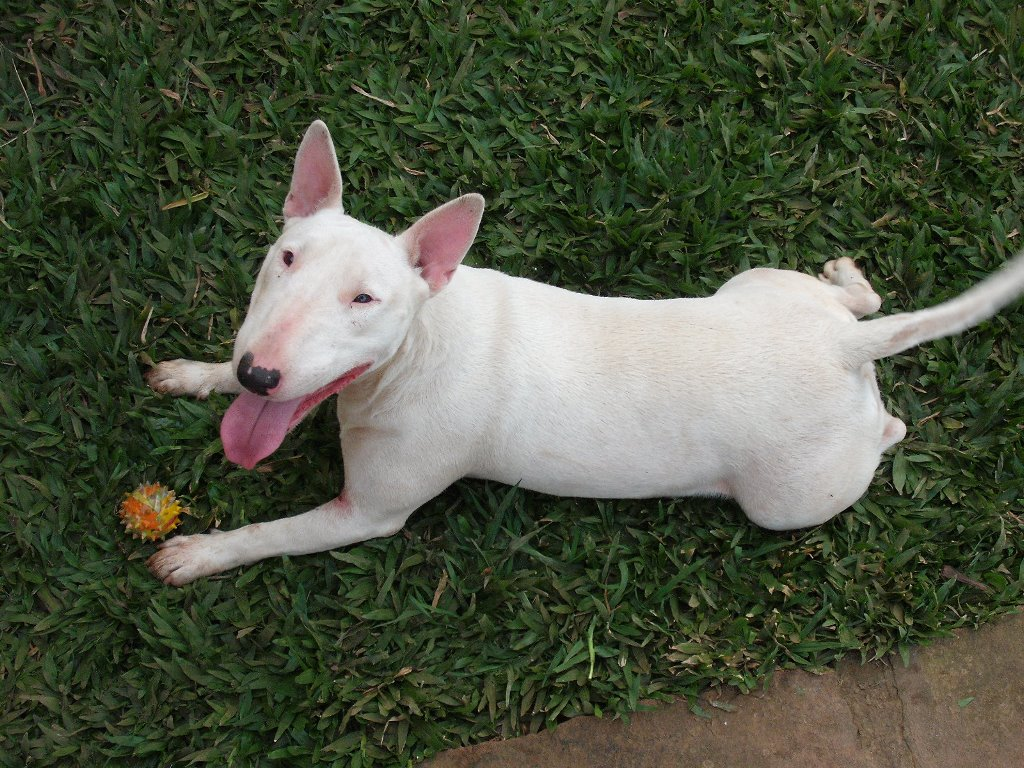 Nature Wallpaper: Bull Terrier