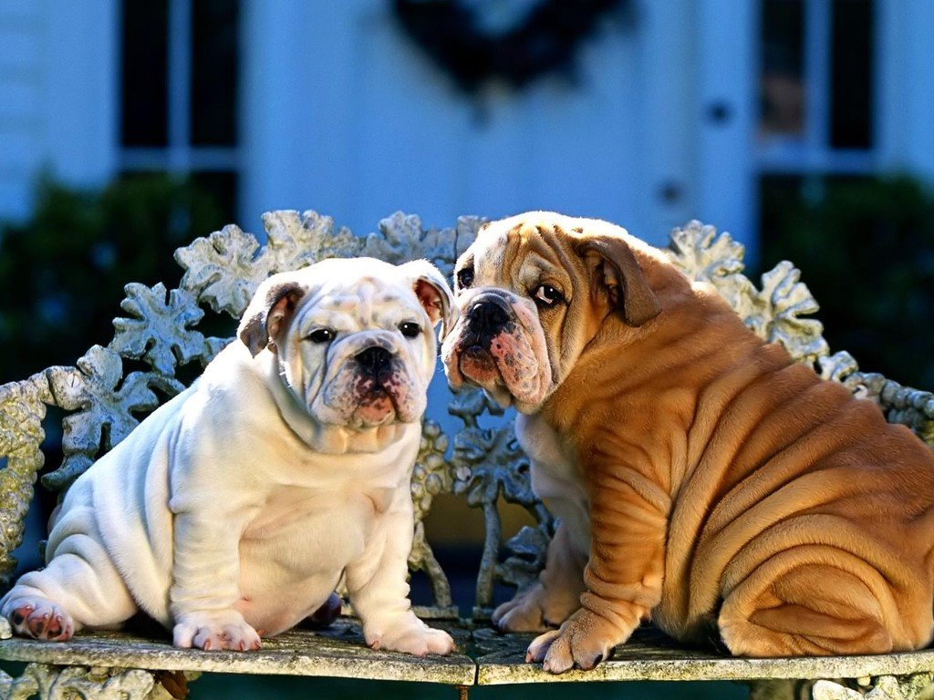 Nature Wallpaper: Bulldogs
