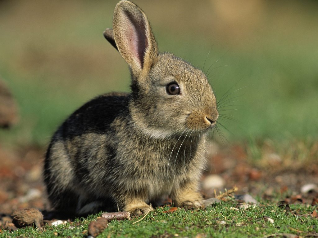 Nature Wallpaper: Bunny