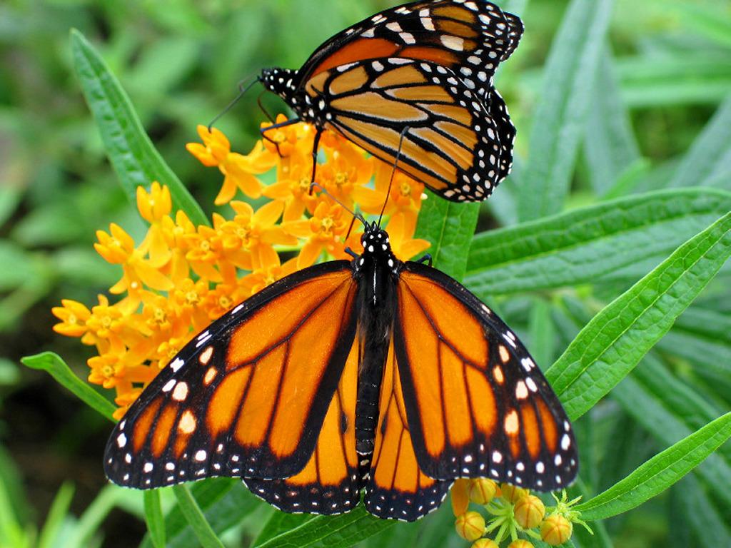 Nature Wallpaper: Butterflies