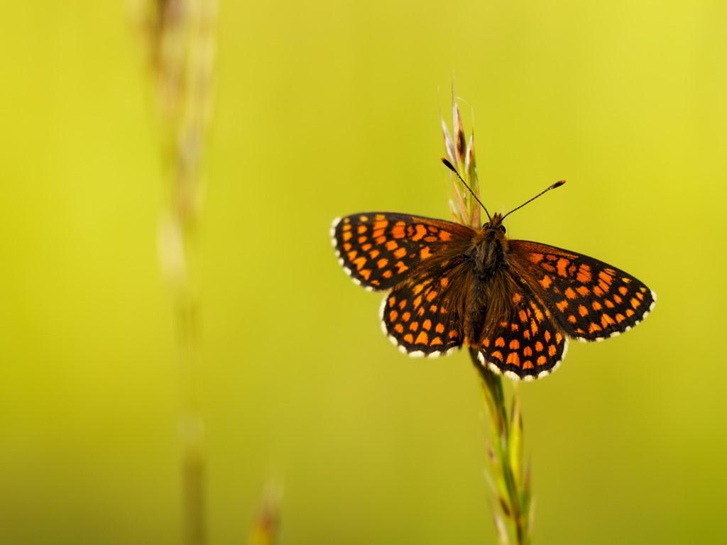 Nature Wallpaper: Butterfly