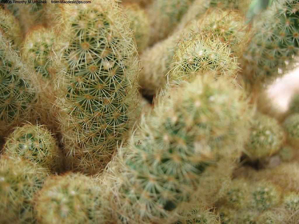 Nature Wallpaper: Cactus