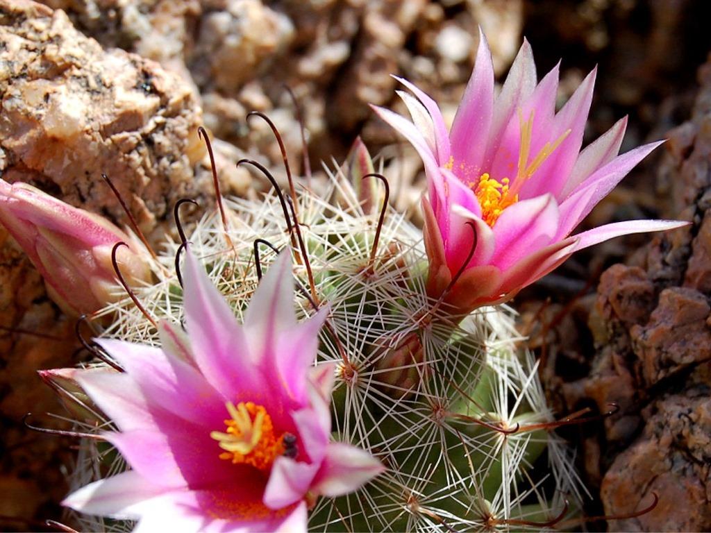 Nature Wallpaper: Cactus Flower