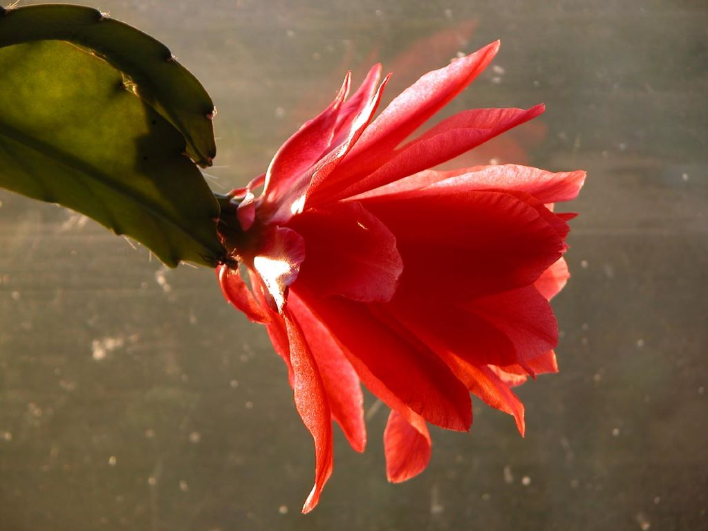 Nature Wallpaper: Cactus Flower