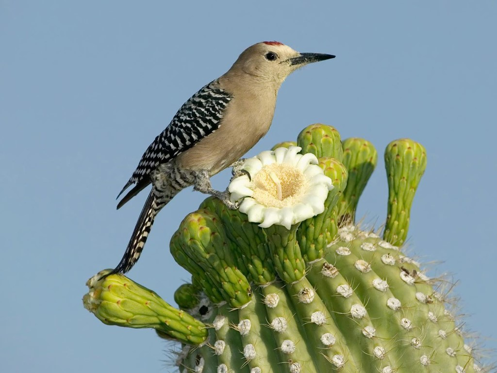Nature Wallpaper: Woodpecker - Cactus Gila