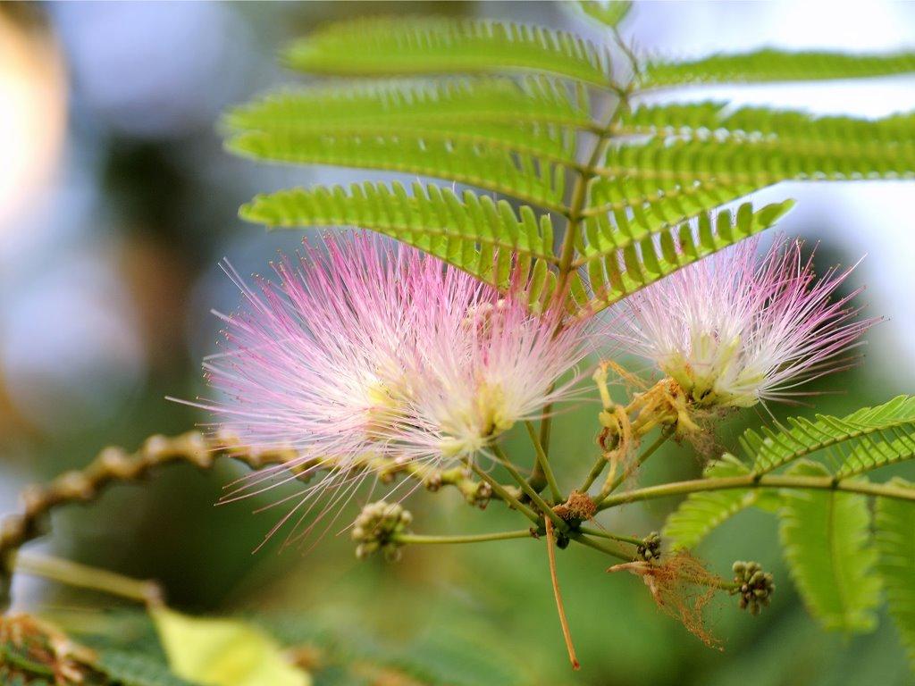 Nature Wallpaper: Calliandra