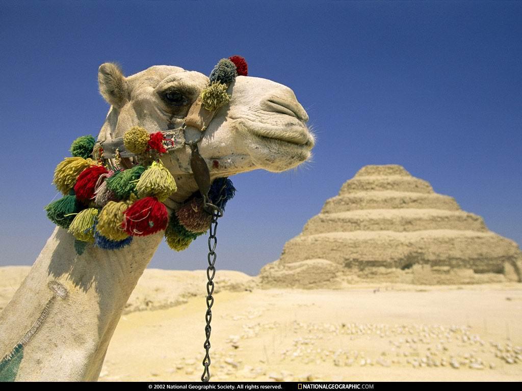 Nature Wallpaper: Camel