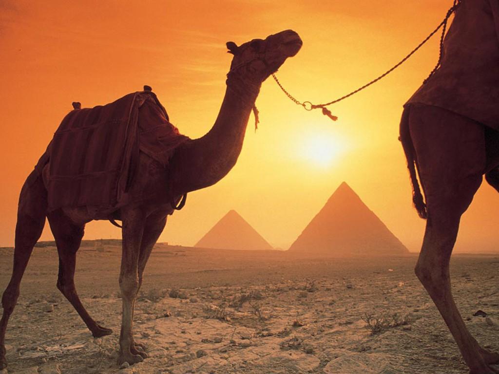 Nature Wallpaper: Camels and Pyramids