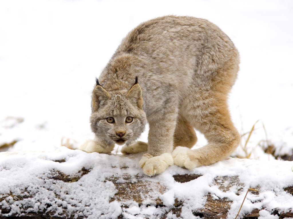 Nature Wallpaper: Canadian Lynx