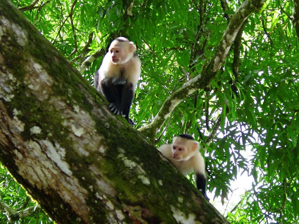 Nature Wallpaper: Capuchin Monkeys
