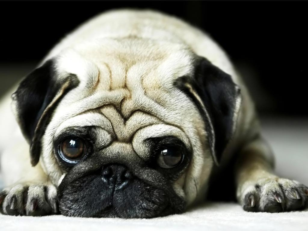Nature Wallpaper: Pug