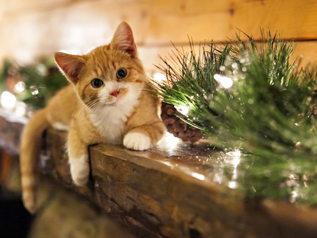 Nature Wallpaper: Cat - Christmas