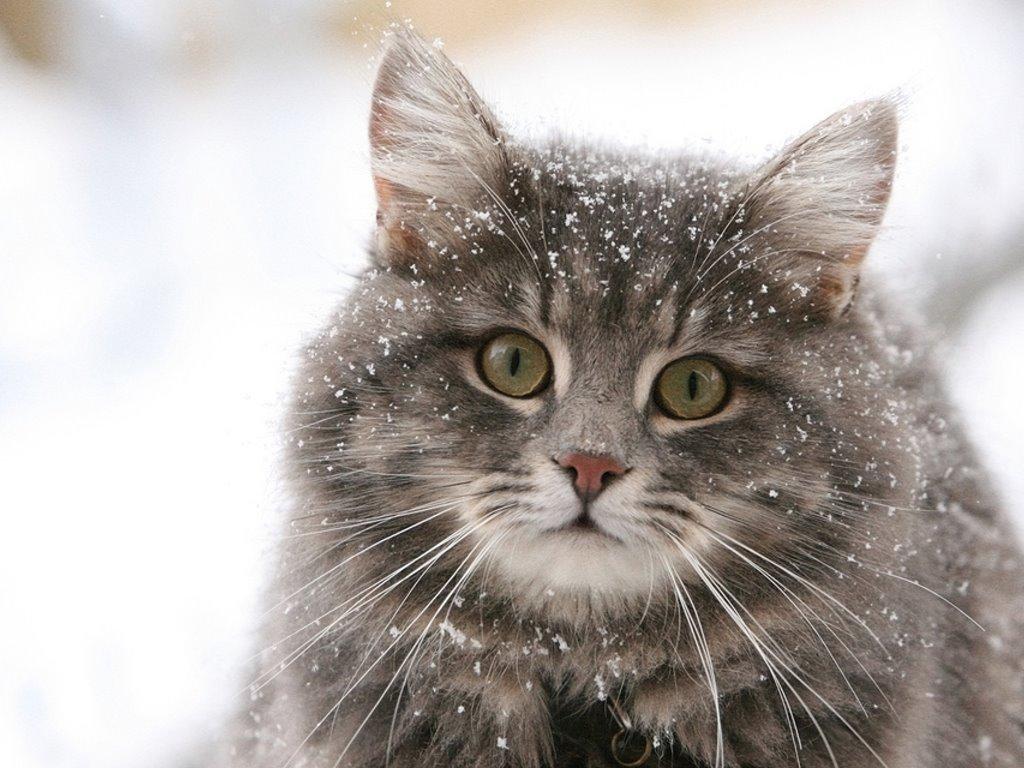 Nature Wallpaper: Cat - Snow