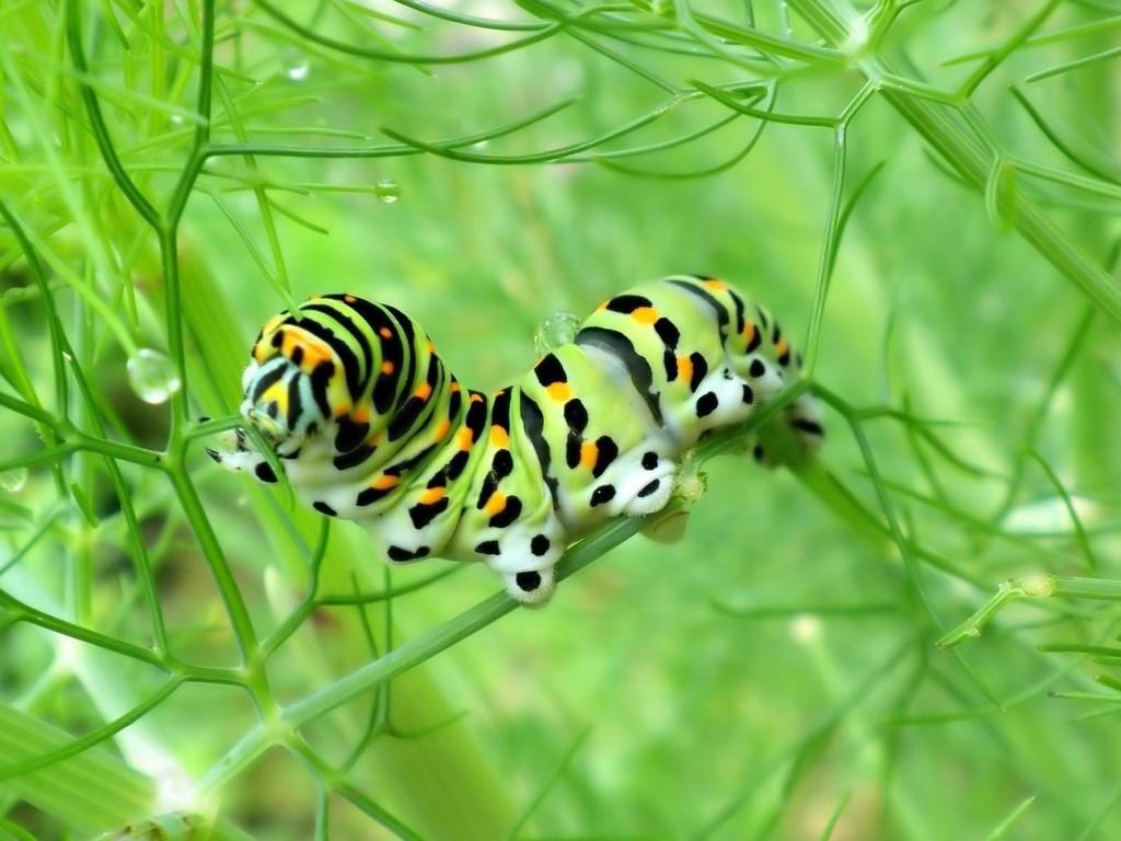 Nature Wallpaper: Caterpillar