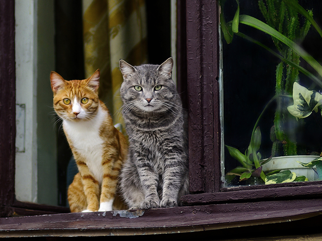 Nature Wallpaper: Cats - At Window