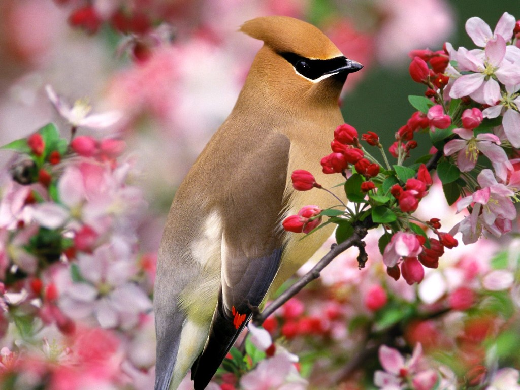 Nature Wallpaper: Cedar Waxwing