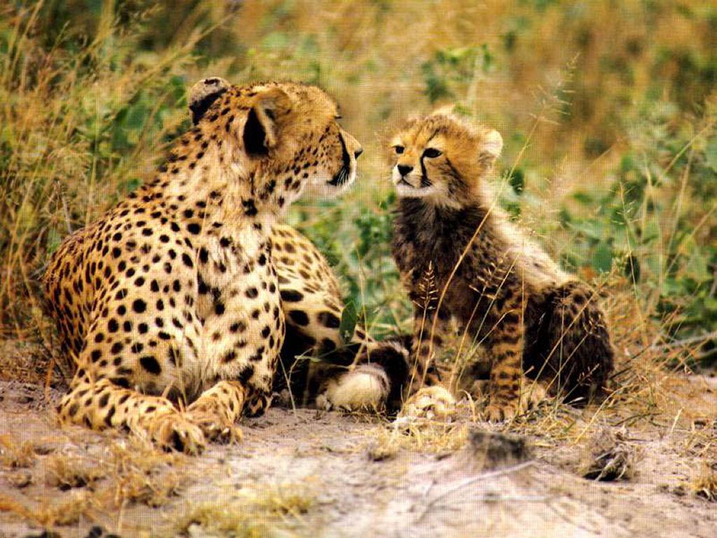 Nature Wallpaper: Cheetah and Kitten