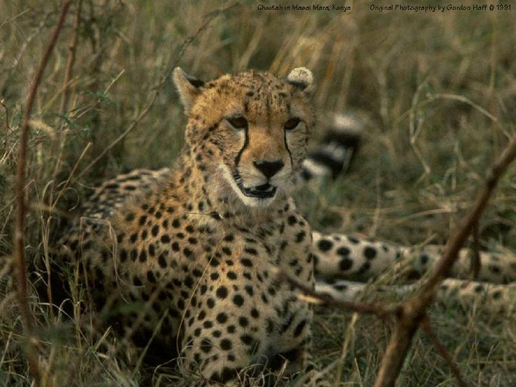 Nature Wallpaper: Cheetah