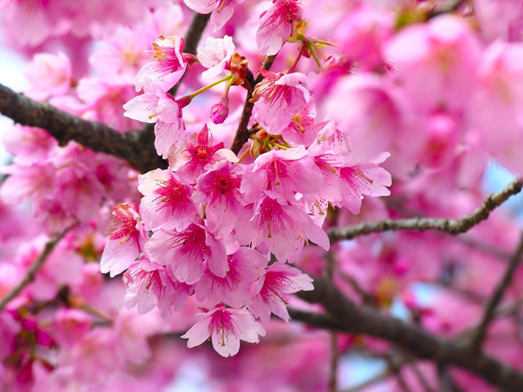 Nature Wallpaper: Cherry Blossom