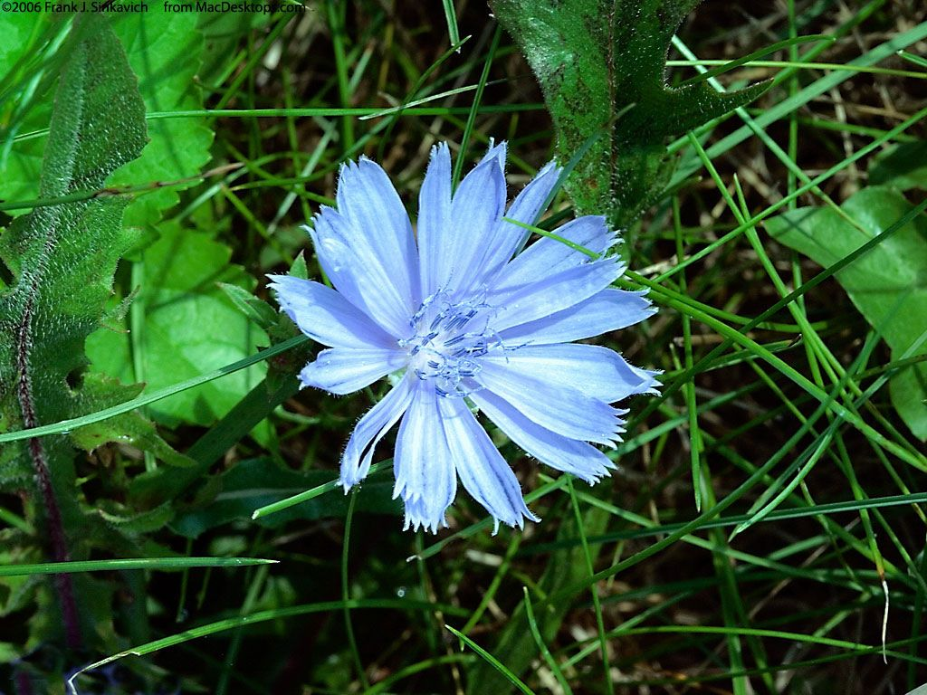 Nature Wallpaper: Chicory