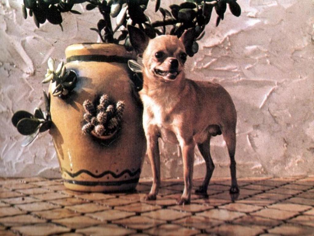 Nature Wallpaper: Chihuahua