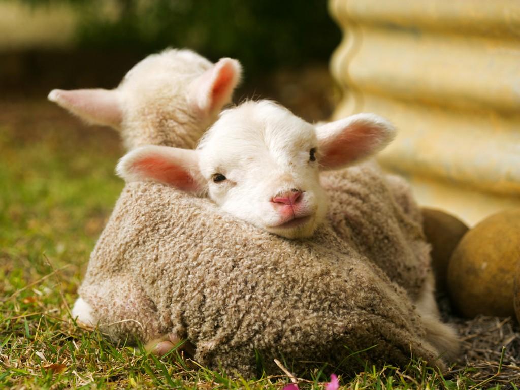 Nature Wallpaper: Lambs