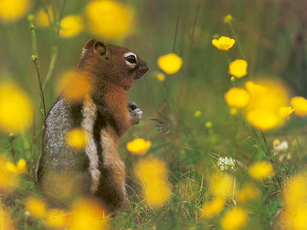 Nature Wallpaper: Chipmunk