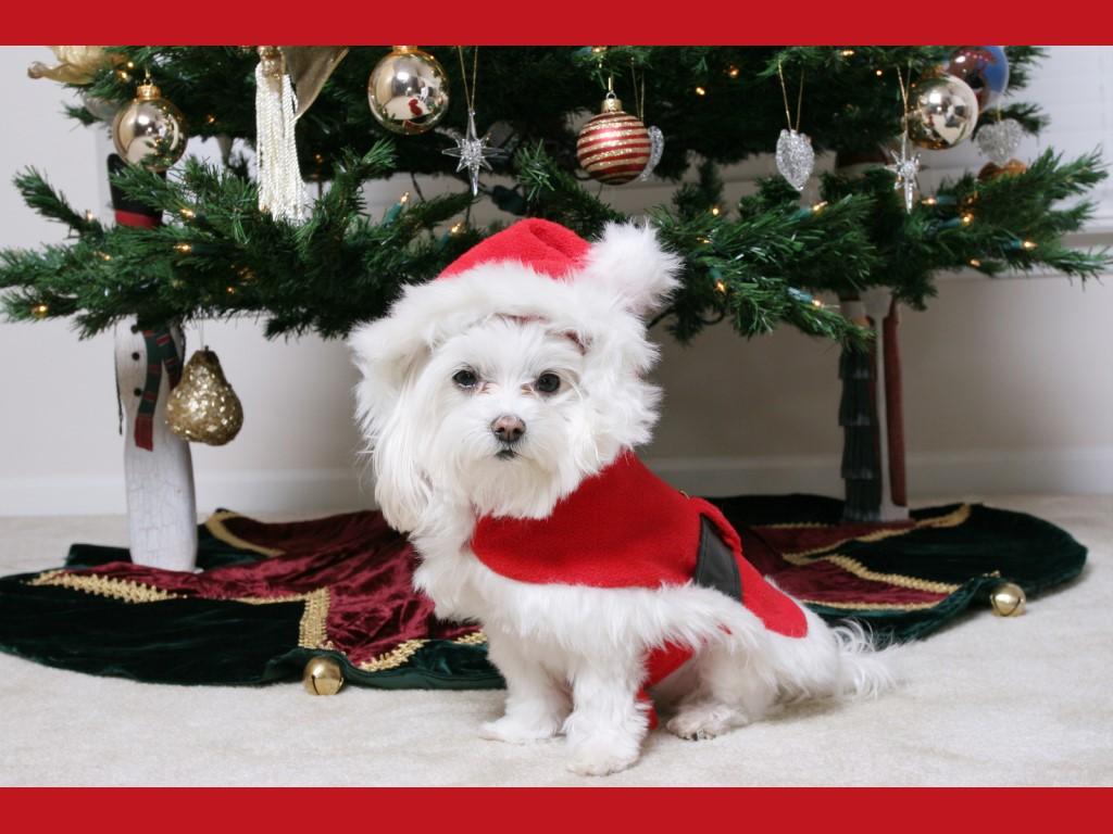 Nature Wallpaper: Christmas - Puppy