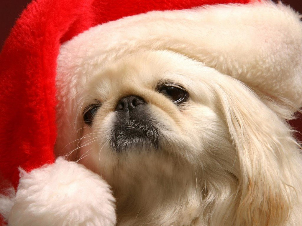 Nature Wallpaper: Christmas - Puppy