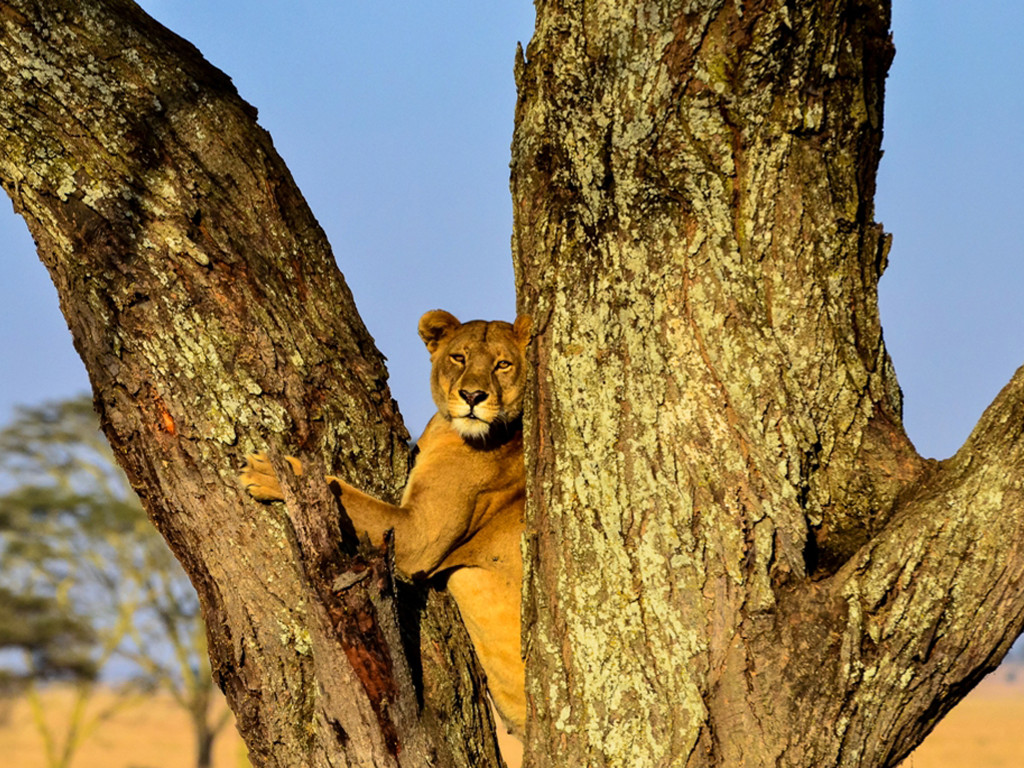 Nature Wallpaper: Lioness - Tree