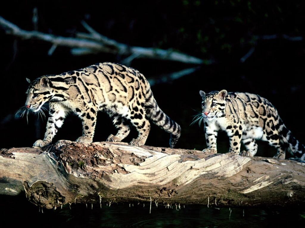 Nature Wallpaper: Clouded Leopard