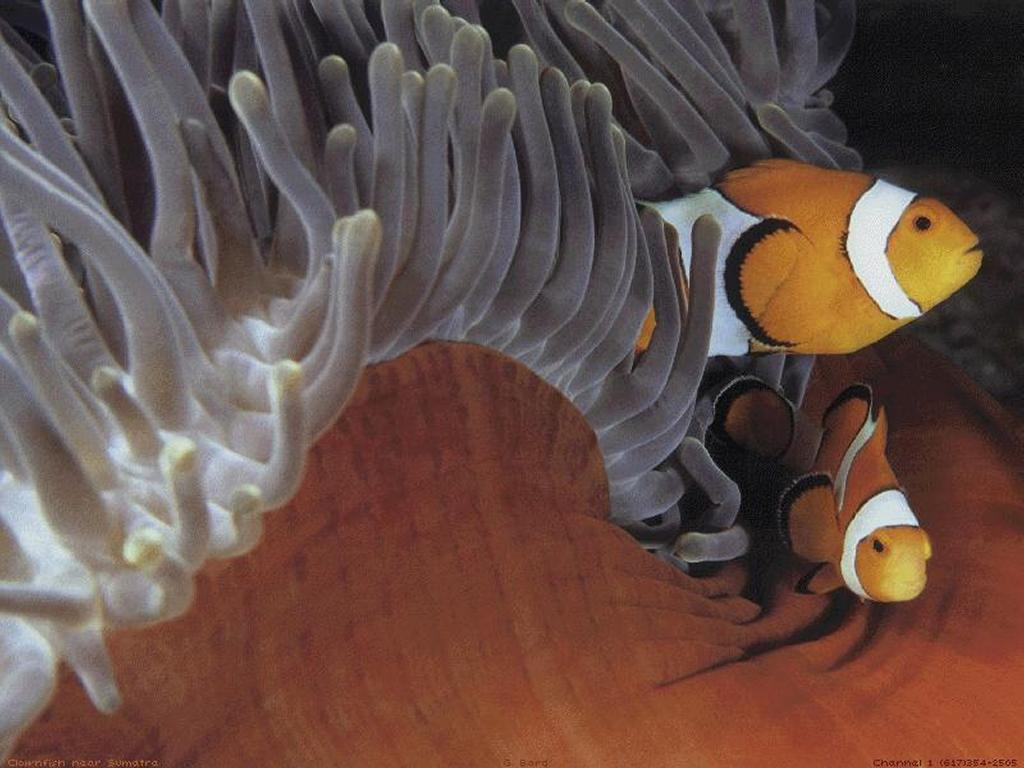 Nature Wallpaper: Clown Fish